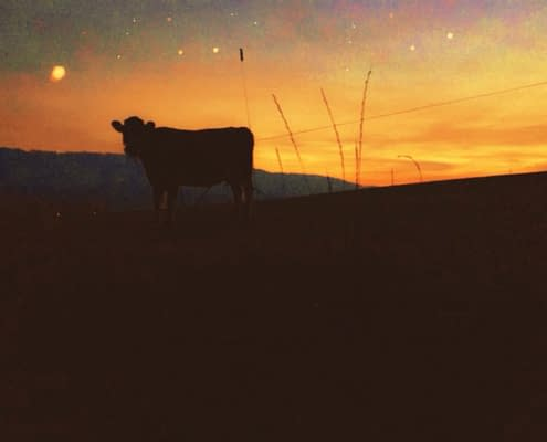 Cow in Slovakian sunset, photo Malin Skinnar