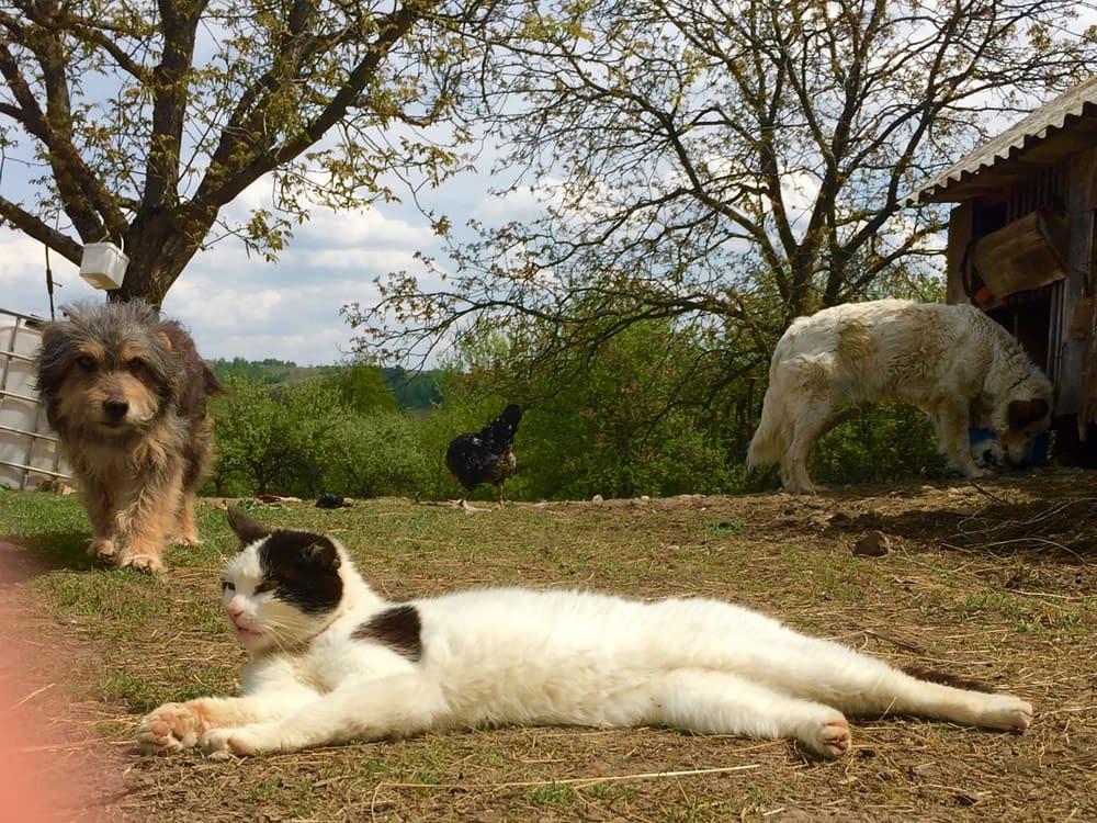 Hunden lufsar runt katten som bestämmer på den Rumänska farmen.