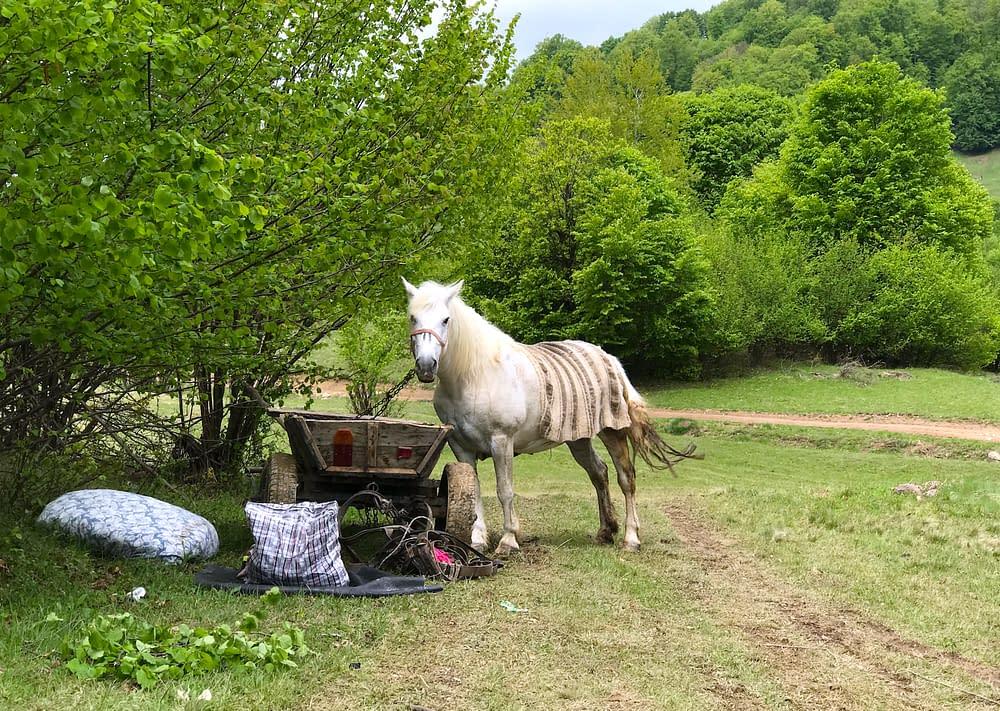 Horses in Cupseni, Romania