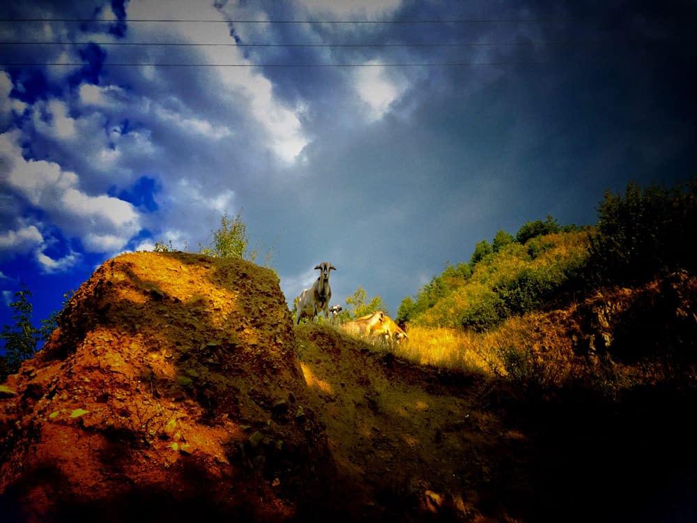Goat on the Bulgarian hills