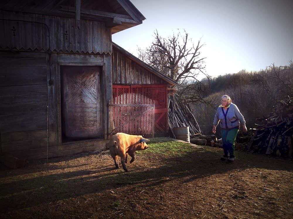 Grisen skuttar hos bönder i Rumänien