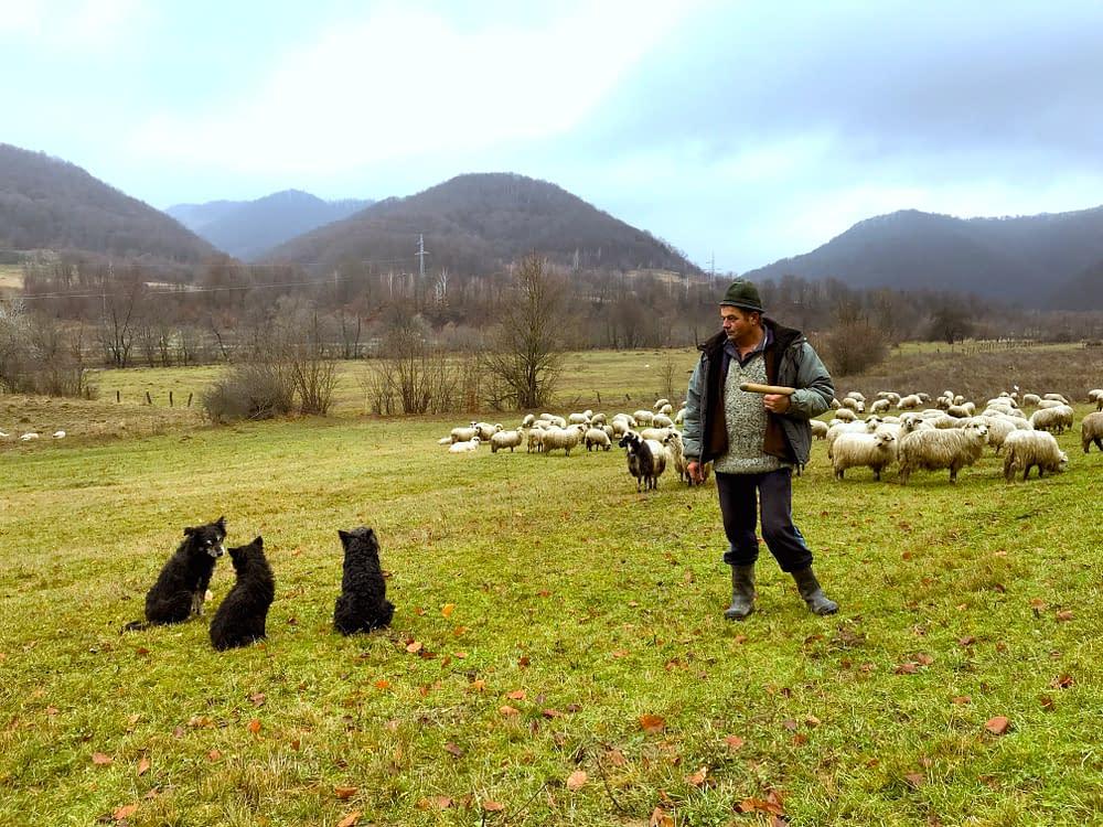 Cioban, sheep herder, north Romania, Tara Lapusului