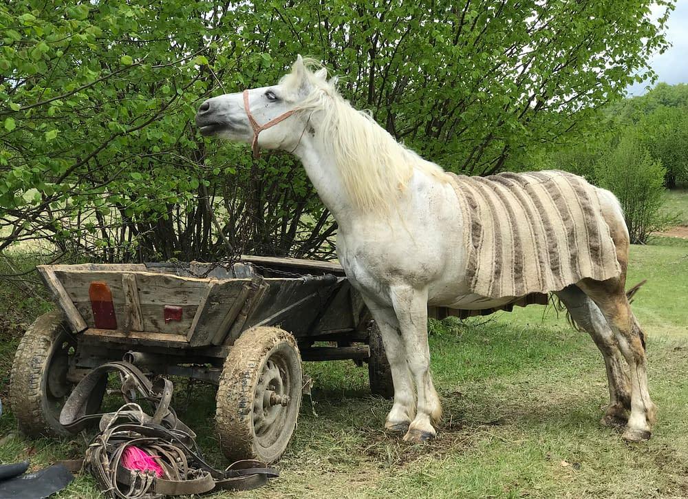 Gospodar in Cupseni, Romania. Horse, photo Malin Skinnar