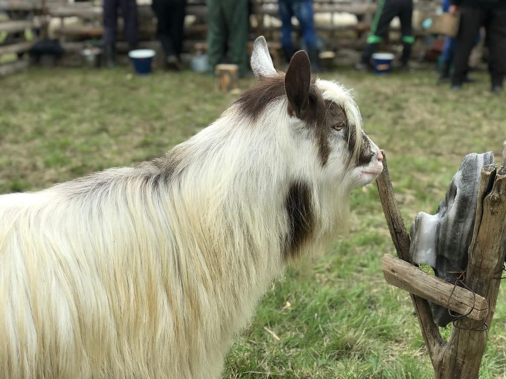 Goat in Cupseni, Romania