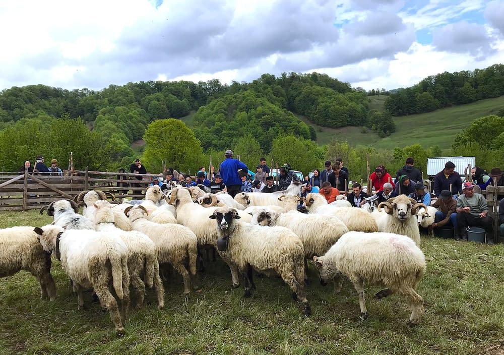 Sheeps in Cupseni