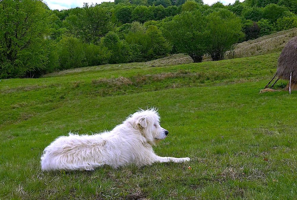 Ciobanesc romanesc carpatin - Cupseni, Romania