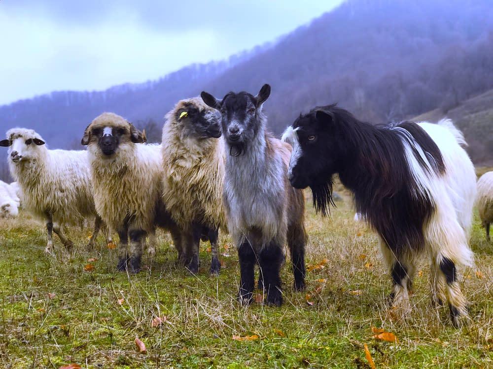 Sheeps and goats in Tara Lapusului, Romania