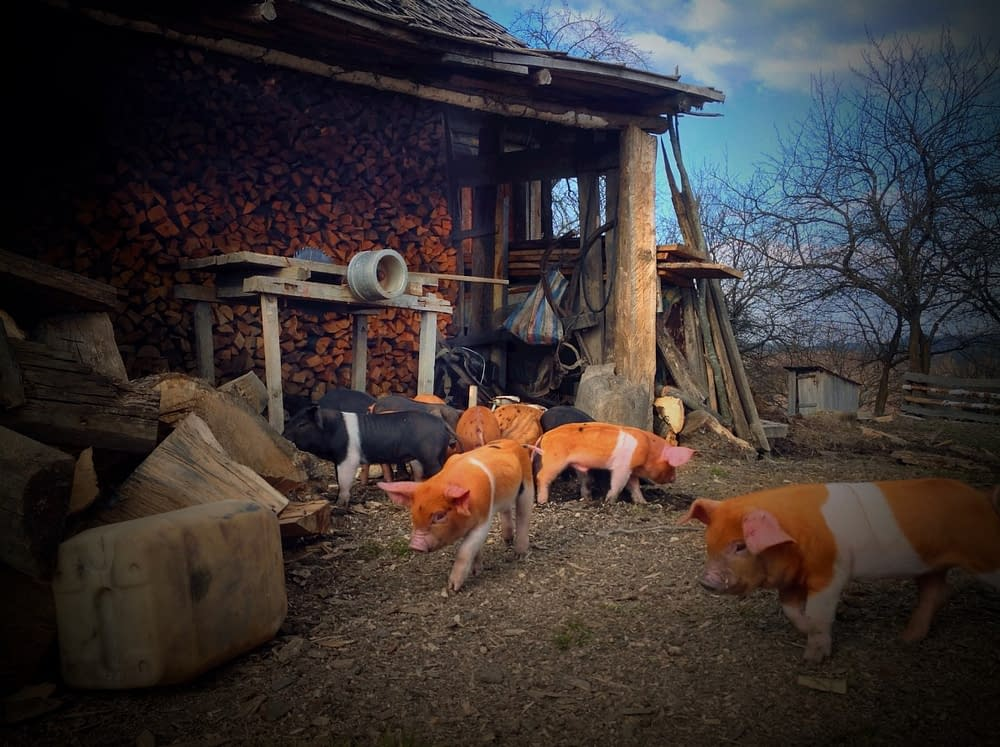 Husdjuren är närvarande på självhushållarnas gårdar i Rumäniens Fântâne .