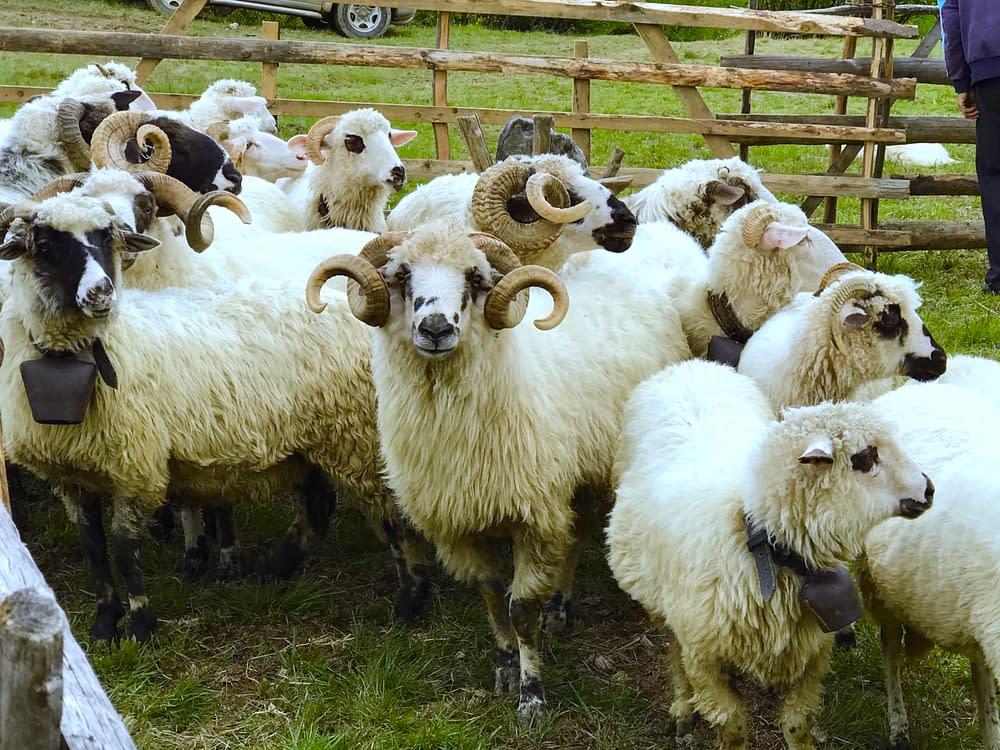 Sheeps in Cupseni Tara Lapusului, Romania