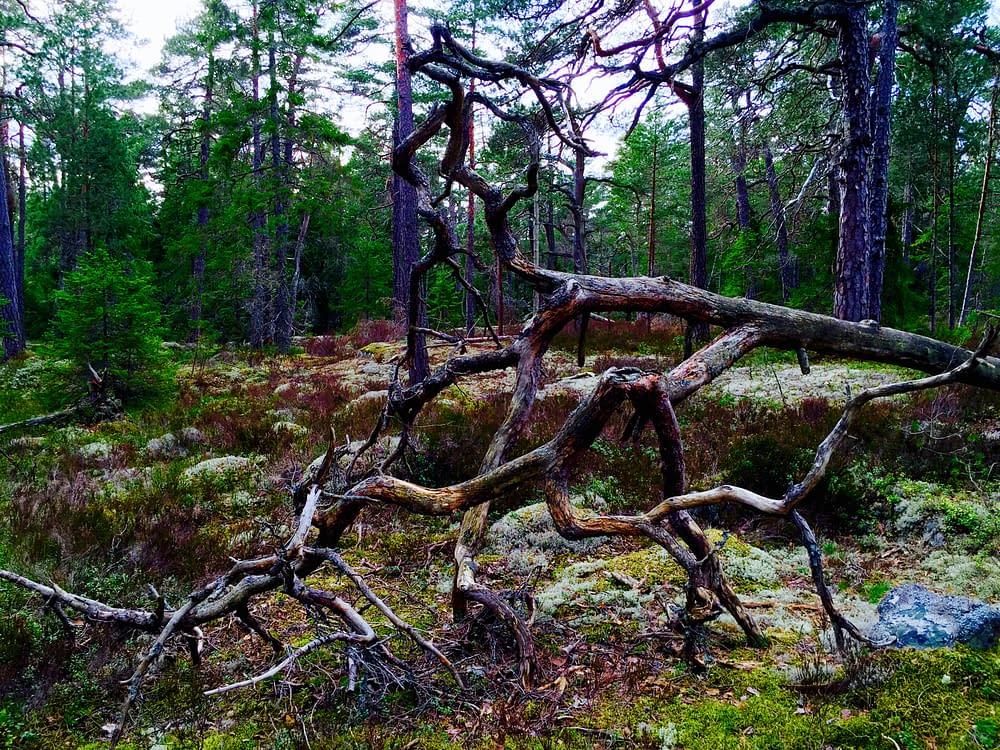 Fallen grå fura i urskog