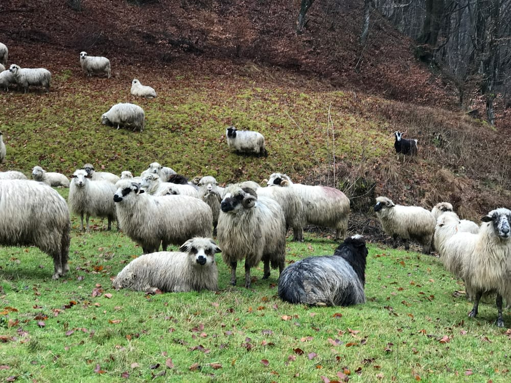 Sheeps in Romania, Transylvania