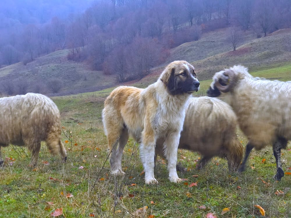 Malin Skinnars documentary from Romania about Shepherds and their dogs