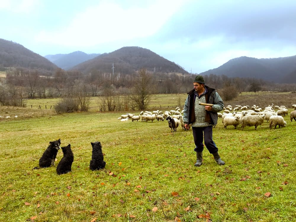 Cioban, sheep herder, north Romania, Tara Lapusului