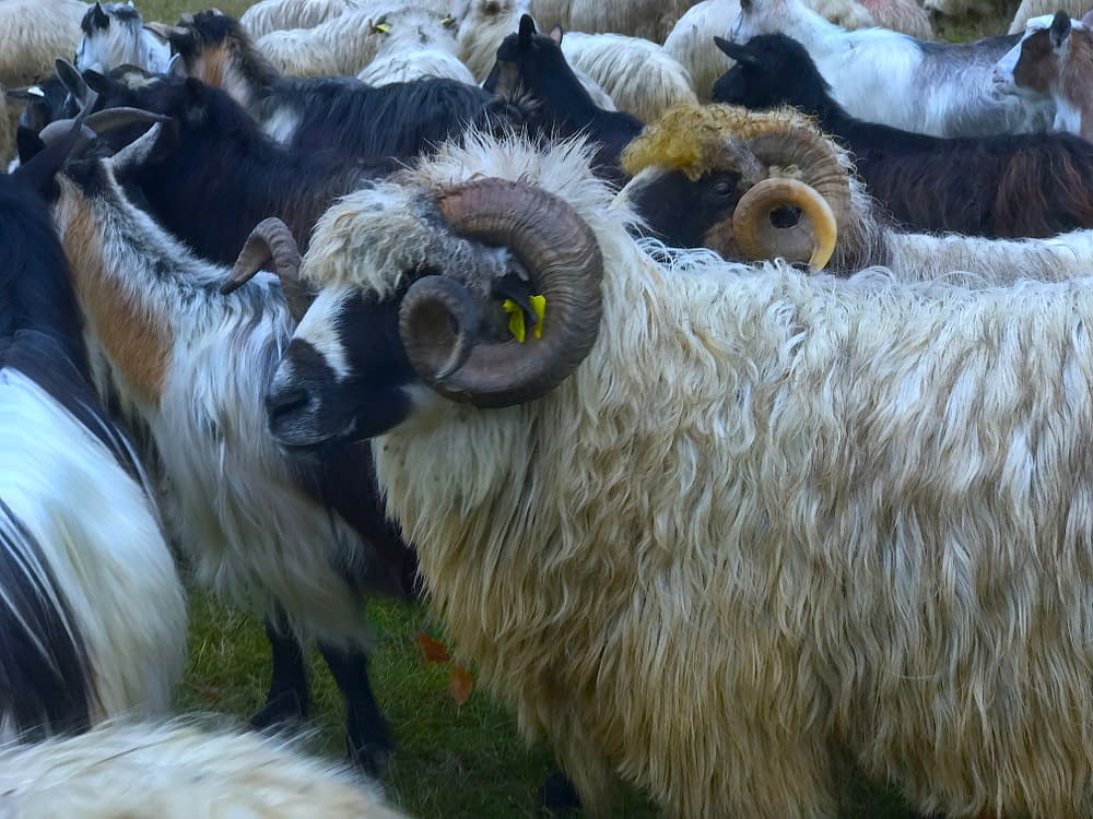 Sheeps in Ungureni, Tara Lapusului, Romania