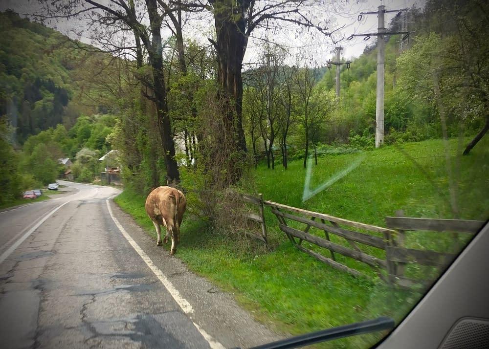 Ser man en ko finns alltid en herde strax intill.