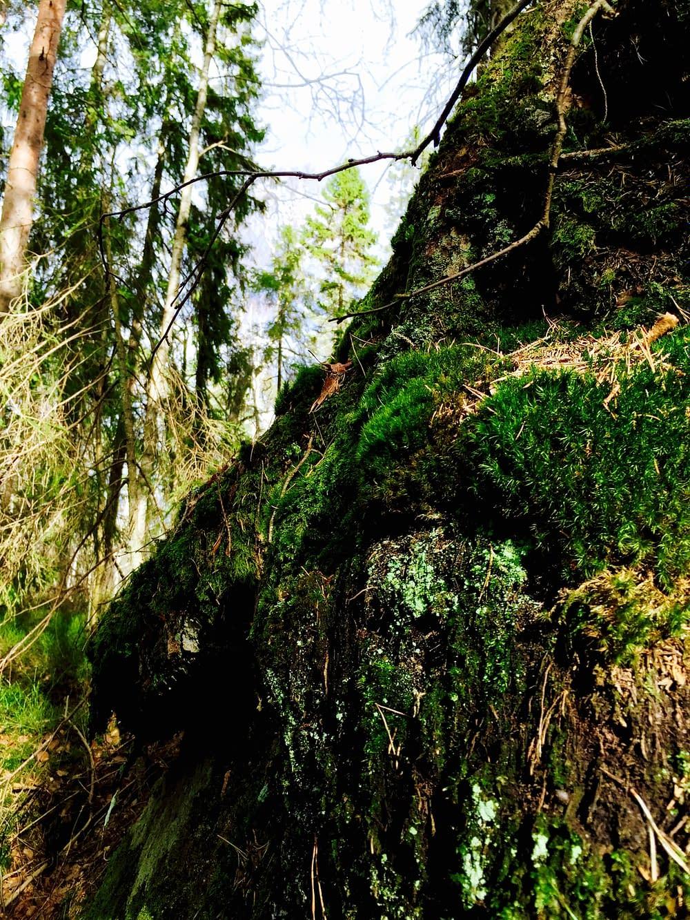 Mossigt träd