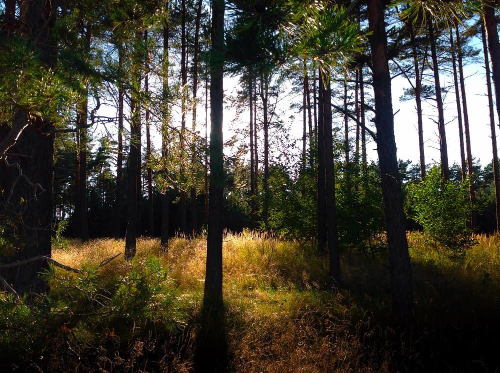 Gyllengräs talldunge